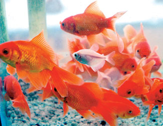 Sri lanka business news online edition of daily news for Japanese ornamental fish